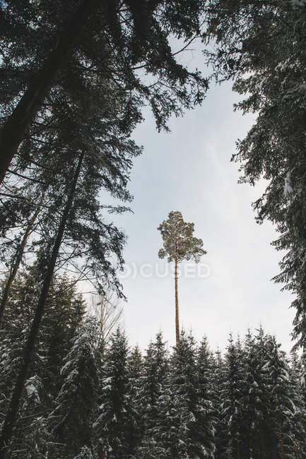 Forest nature and winter season — Stock Photo