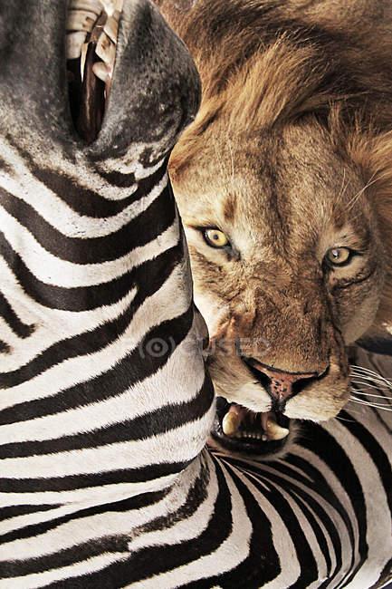 Морды льва, глядя через Зебра — стоковое фото