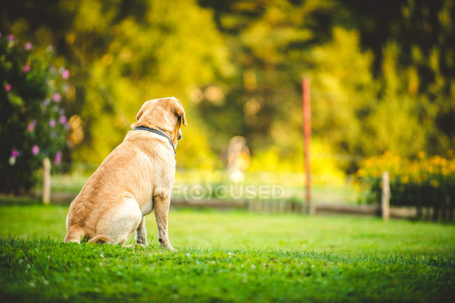 Rear view of retriever sitting on grass in park — Stock Photo
