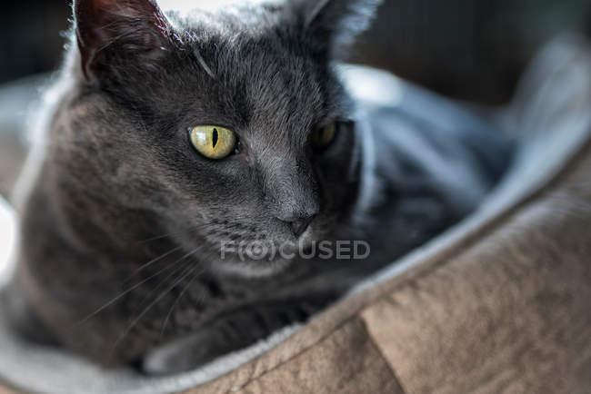 Chat gris assis sur des coussins pour animaux de compagnie — Photo de stock