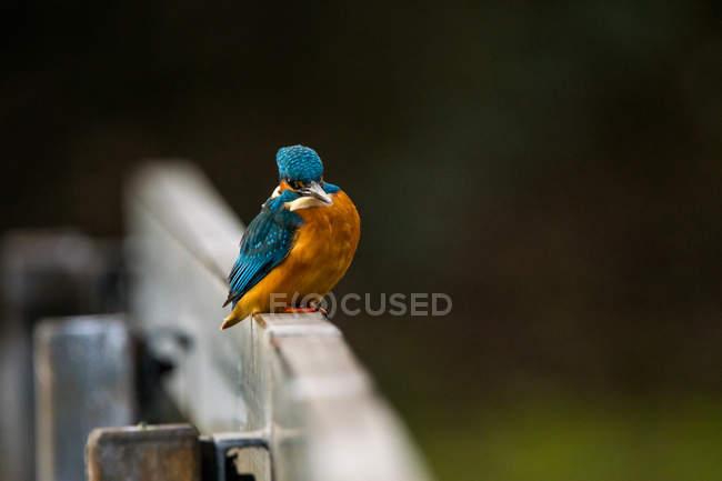 Martin-pêcheur assis sur la clôture en bois — Photo de stock