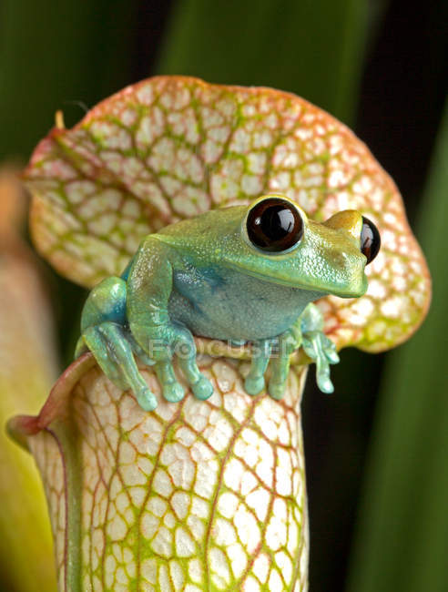 Tree Frog sitting on Picther Plant — Stock Photo