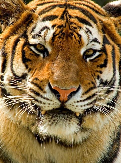 Close-up Portrait von tiger — Stockfoto