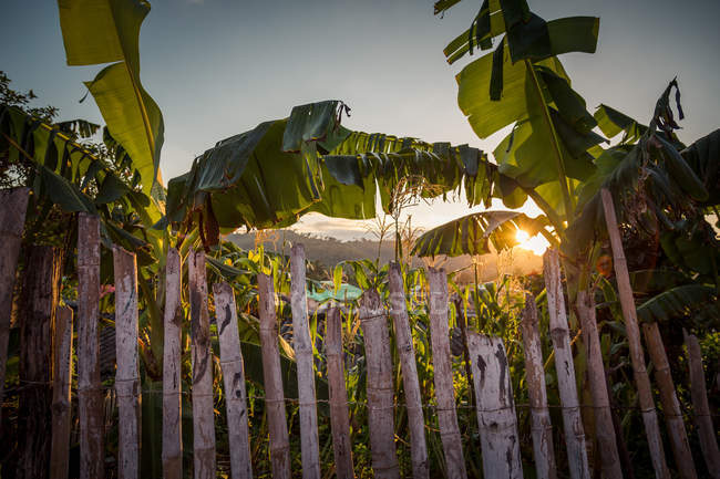 Musaceae plants leaves and sunset, banana leaves — Stock Photo