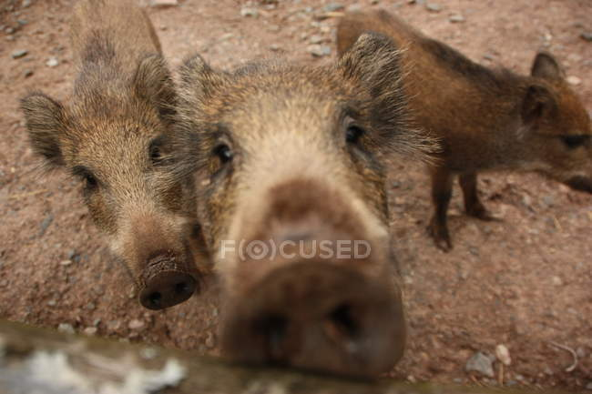 Close-up view of wild boar piglets snouts — Stock Photo