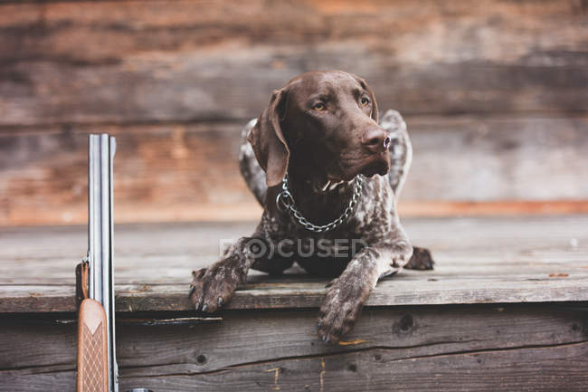Braque Francais dog lying on wooden flooring — Stock Photo