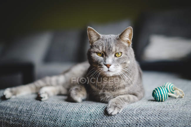Gray cat laying on sofa — Stock Photo
