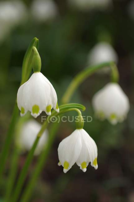 Весенние цветы снежинки — стоковое фото