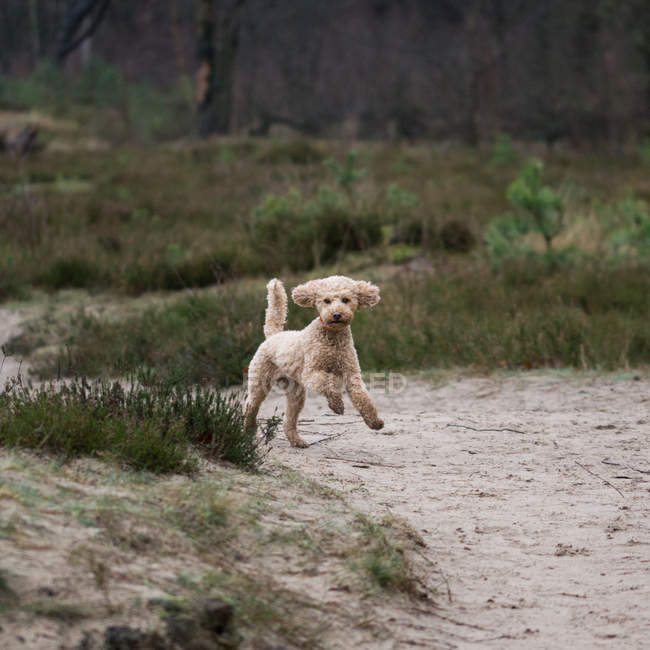 Front view of poodle running in forest — Stock Photo