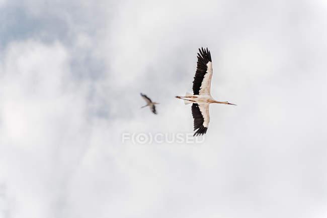 Vuelo de dos aves de cigüeña blanca en el cielo - foto de stock