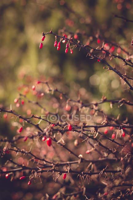 Ramos do arbusto com bagas vermelhas — Fotografia de Stock