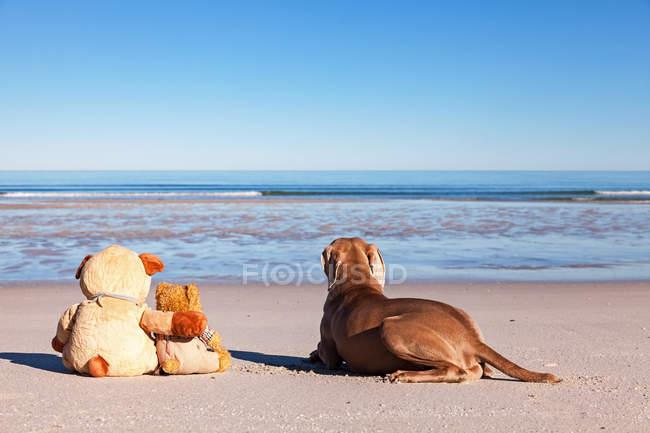 Задній вид собака, сидячи на пляжі з М'які іграшки — стокове фото