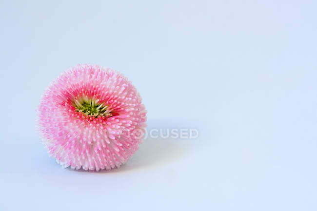 Closeup view of pink daisy flower — Stock Photo