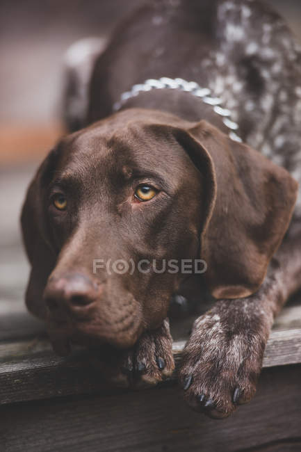Close-up view of Braque Francais dog lying on wooden flooring — Stock Photo