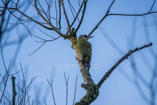Низький кут зору Зелений дятел, сидячи на дереві в зимовий період — стокове фото