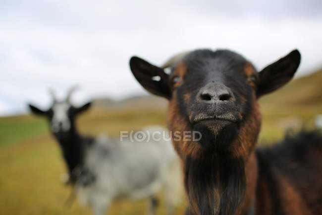 Close-up view of goats looking in camera — Stock Photo