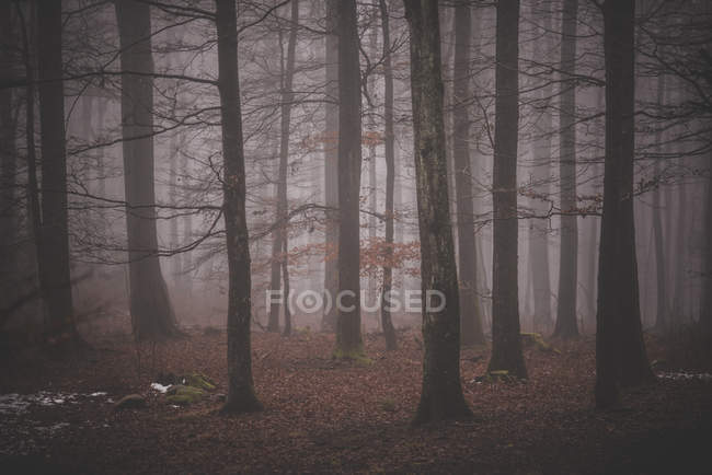 Orest in foggy weather — Stock Photo