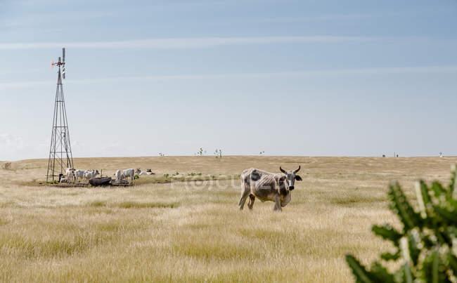 Возобновляемые мельница в области сельской местности и коров — стоковое фото
