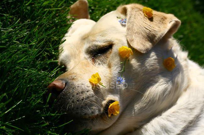 Cão labrador deitado na grama — Fotografia de Stock