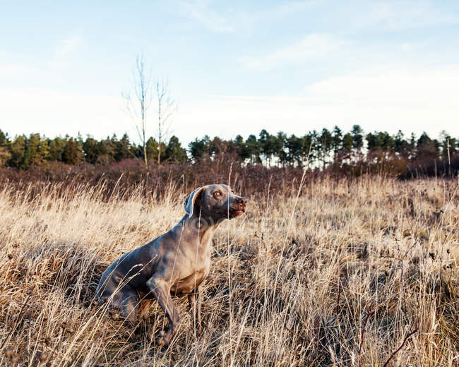 Weimaraner dog lying in grass — Stock Photo