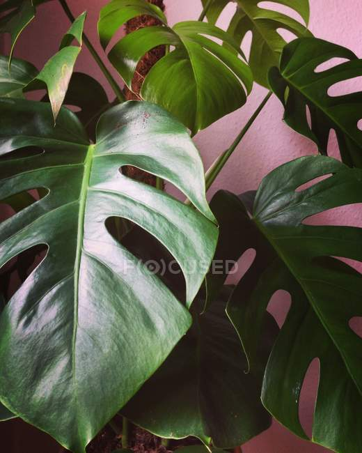 Foglie di Monstera — Foto stock