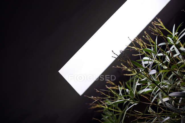 Grüne Blattpflanze unter Lampe Licht, Ansicht von unten — Stockfoto