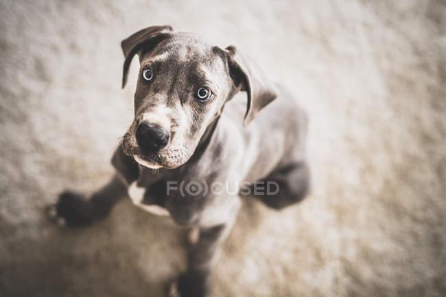 Cute great dane dog — Stock Photo