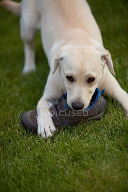 Filhote de Labrador brincando com sapato — Fotografia de Stock