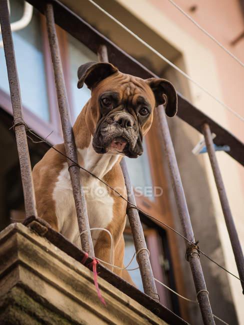 Боксер собаки, вид с балкона — стоковое фото