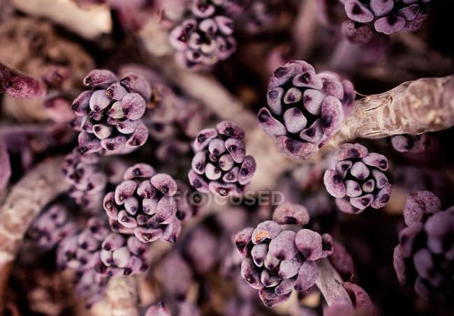 Макросъемки фиолетовый фиолетовый цветы — стоковое фото