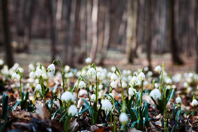 Подснежник цветущие цветы на лесной поляне — стоковое фото