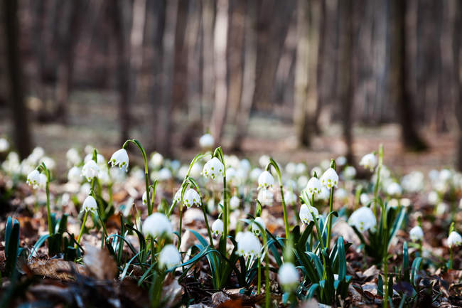 Snowdrop blossoming flowers on forest glade — Stock Photo