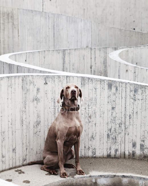 Веймаранер собака, сидящая напротив стены лабиринта — стоковое фото