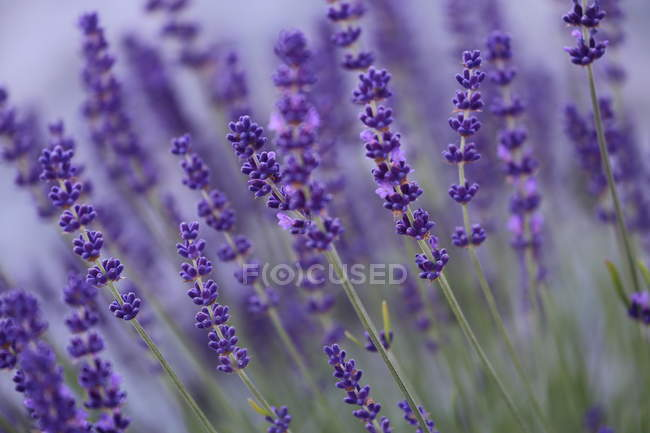 Lavender crops on agricultural field — Stock Photo