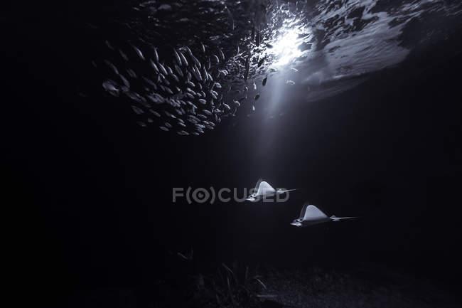 Підводний зору manta промені і риби стадо в темні води полегшені промінь сонця — стокове фото