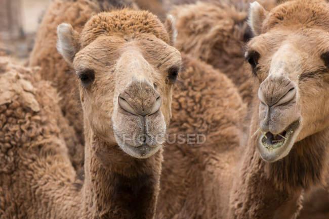 Kamelkarawane im freien — Stockfoto