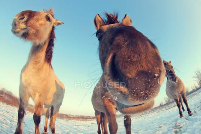 Смешные лошади головы в Рыбий глаз объектив камеры — стоковое фото