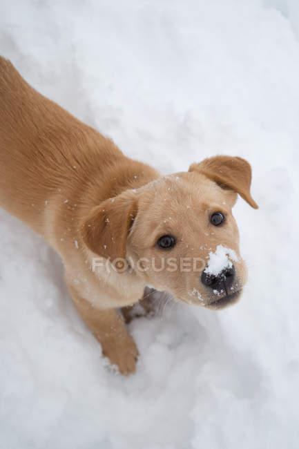Собака породи Лабрадор — стокове фото