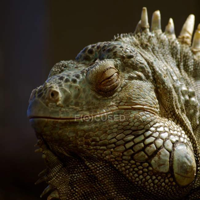 Iguana selvagens na natureza — Fotografia de Stock