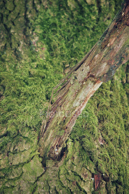 Green moss growing on tree trunk — Stock Photo
