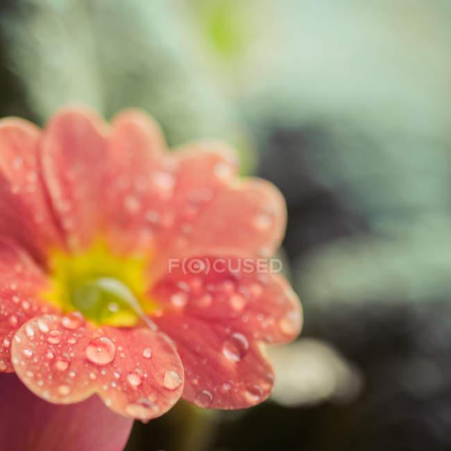 Vue de fleur de fleur de primevère de rosée tombe — Photo de stock