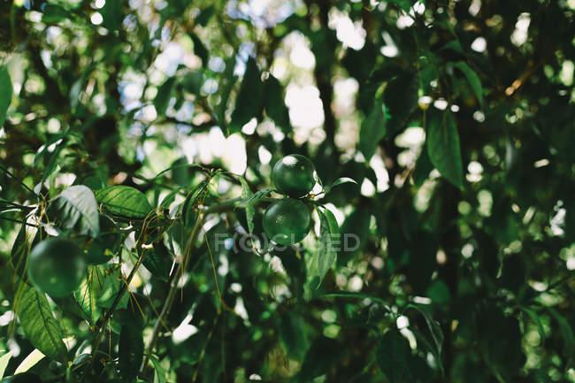 Calce verdi sui rami di alberi — Foto stock