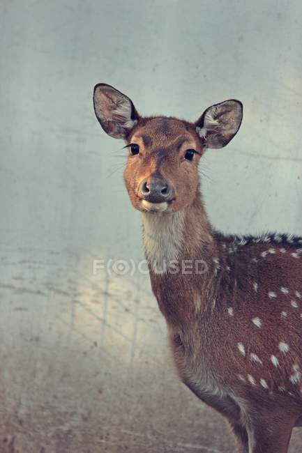 Daytime cropped view of spotted deer looking at camera — Stock Photo
