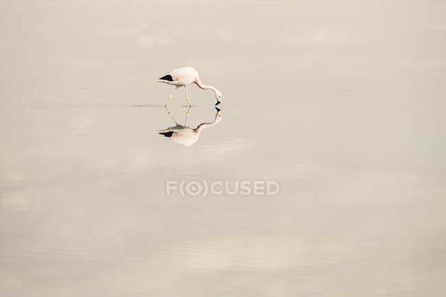 Malerische Aussicht auf Flamingo mit Reflektion auf Salzsee — Stockfoto