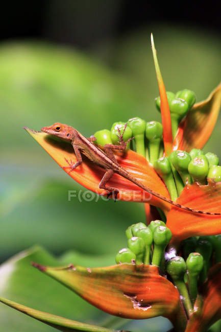 Closeup view of primrose flower blossom and lizard — Stock Photo