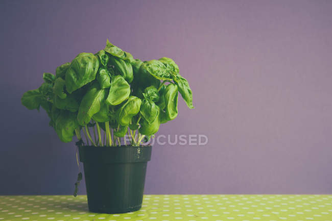 Flower pot with basil plant — Stock Photo