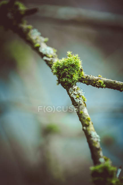 Green moss growing on tree branch — Stock Photo