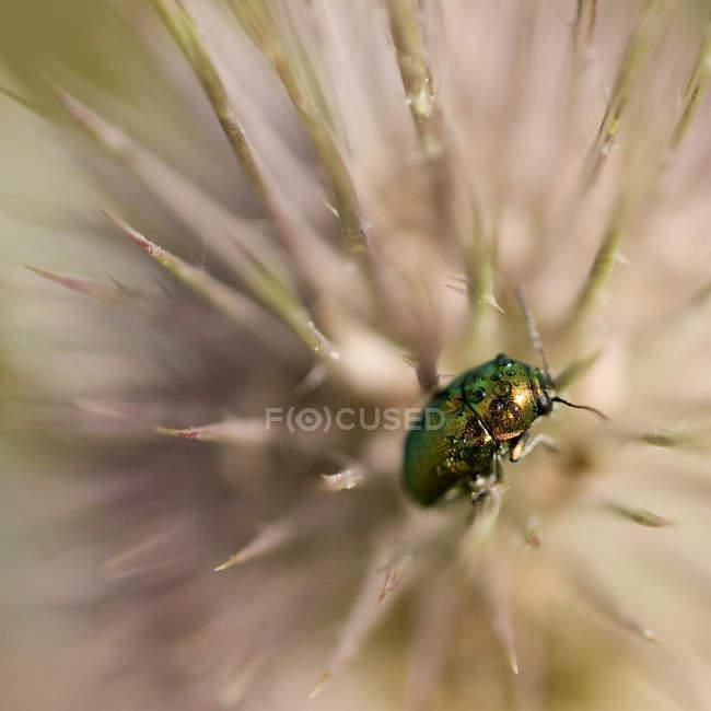 Крупним планом на чашечки квітка жука — стокове фото