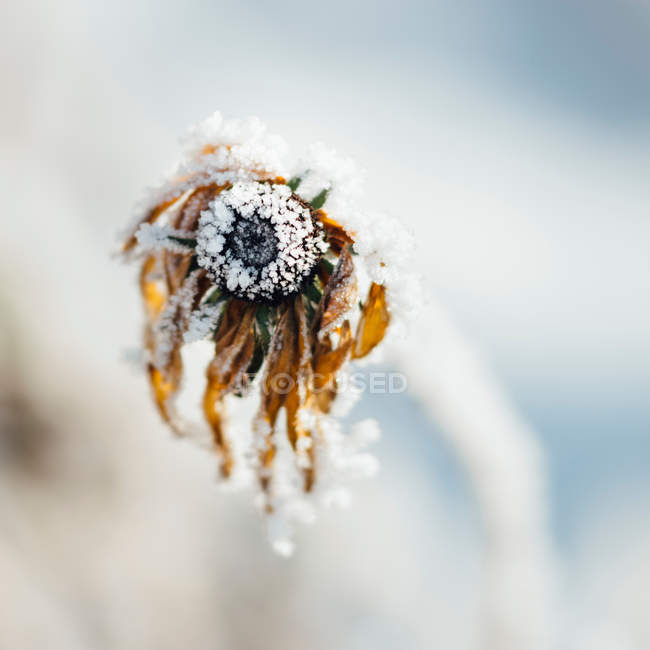 Frost on plant stalk, dry rudbeckia flower — Stock Photo