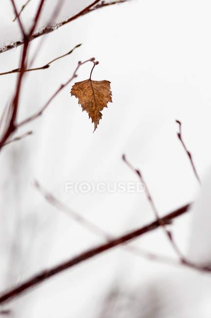 Последний лист березы висит на дереве — стоковое фото